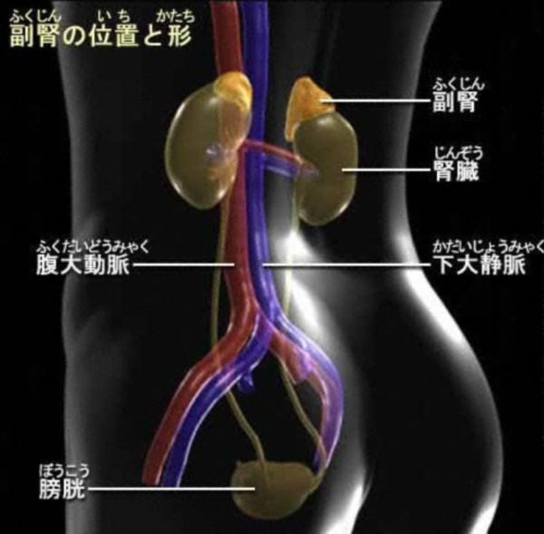 副腎の場所を説明するイメージ